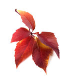 Red autum virginia creeper leaf Stock Photography