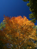 Red autumn. Red maple tree in autumn stock photography