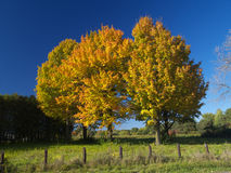 Red autumn. Colorful maple trees in a farm field Stock Photos