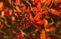 Red autumn Royalty Free Stock Images