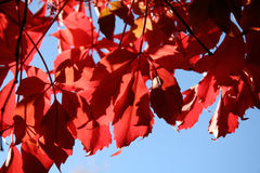 Red autumn Stock Images