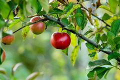 Red autumn apples Stock Images