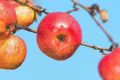 Red autumn apples on a branch Stock Images
