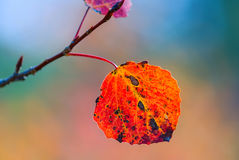 Red autumn aspen leaf Royalty Free Stock Image
