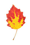 Red autumn aspen leaf isolated on white Stock Photography