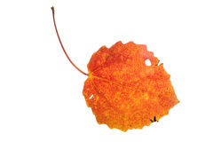Red autumn aspen leaf isolated on white. Background Royalty Free Stock Photos