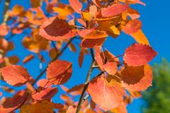 Red autumn aspen leaves against the sky. Foliage of an aspen against the sky in the autumn Stock Photo