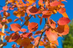 Red autumn aspen leaves against the sky. Foliage of an aspen against the sky in the autumn Stock Photography