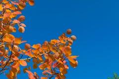 Red autumn aspen leaves against the sky Stock Image
