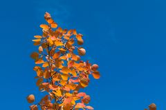 Red autumn aspen leaves against the sky Royalty Free Stock Photography