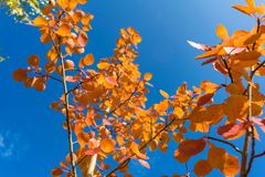 Red autumn aspen leaves against the sky. Foliage of an aspen against the sky in the autumn Stock Image