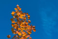 Red autumn aspen leaves against the sky Royalty Free Stock Photos