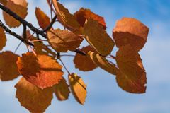 Red autumn aspen leaves against the sky. Foliage of an aspen against the sky in the autumn Royalty Free Stock Photography