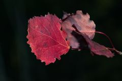 Red autumn aspen leaves Royalty Free Stock Photos