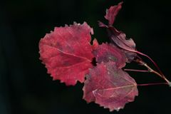 Red autumn aspen leaves Stock Images