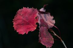 Red autumn aspen leaves Stock Photography