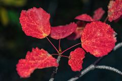 Red autumn aspen leaves Stock Photo