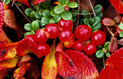 Red autumn berries Royalty Free Stock Photo