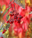 Red autumn berries Stock Photo