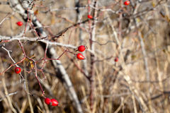 Red autumn berries royalty free stock photography