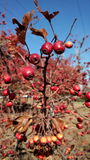 Red autumn berries on blue sky background autumn Stock Image