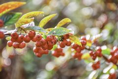 Red autumn berries stock image