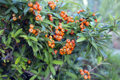 Red autumn berries of Pyracantha Royalty Free Stock Photos