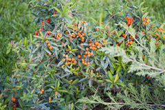 Red autumn berries of Pyracantha Stock Image