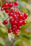 Red autumn berry Stock Photos