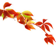 Red autumn branch of grapes leaves Royalty Free Stock Images