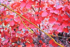 Red, Autumn, Branch, Pink royalty free stock photo