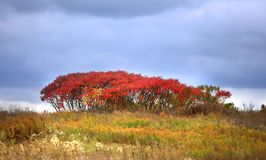 Red autumn bush Stock Images