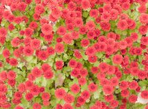 Red autumn chrysanthemums. A dense carpet laid the earth Royalty Free Stock Images