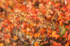 Red autumn closeup Royalty Free Stock Photo