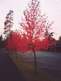 Red tree. Red autumn colour Royalty Free Stock Image