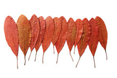 Red Autumn Dry Leaf Stock Photos