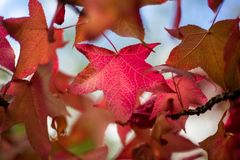 Red Autumn Fall Leaves with a selective focus in Adelaide South Royalty Free Stock Photo