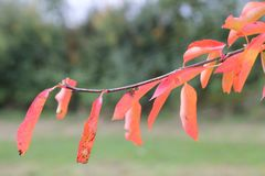 Red autumn or fall leaves in shallow focus.  stock photo
