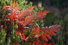 Red autumn fern Stock Image