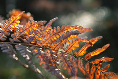 Red autumn fern Stock Photo