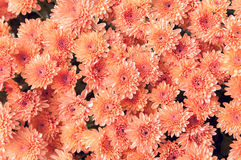 Red autumn flowers Royalty Free Stock Photos