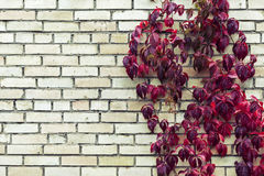 Red autumn foliage on brick wall Royalty Free Stock Image
