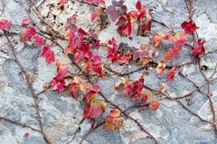 Red autumn foliage on stone wall. Backgrounds. A plant with red autumn foliage clambering over a stone wall Stock Image