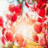 Red autumn foliage with sunbeam in garden or park, fall outdoor nature. Background Royalty Free Stock Photos