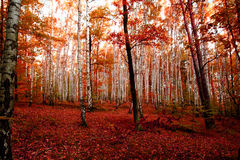 red autumn forest Royalty Free Stock Images