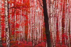 red autumn forest Stock Photography