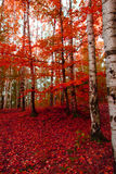 red autumn forest Royalty Free Stock Photos