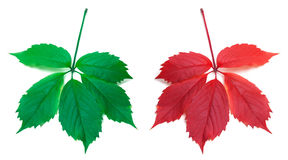 Red autumn and green virginia creeper leaves Stock Photos