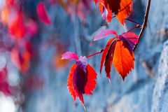 Red autumn ivy leaves on the stone wall background Stock Photo