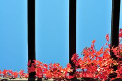 Red autumn ivy on pergola. Against blue sky Royalty Free Stock Photography